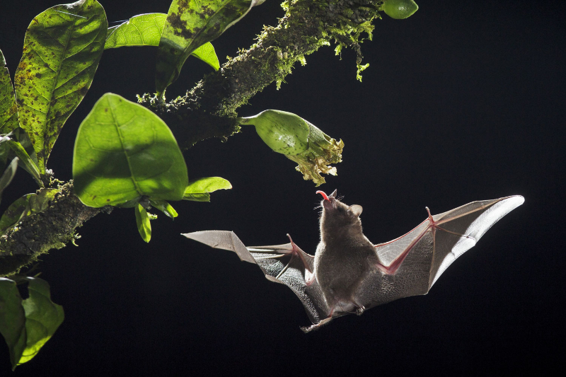 Costa Rican bats inform development of flying robots